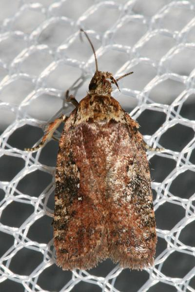 Agonopterix purpurea (Haworth, 1811)