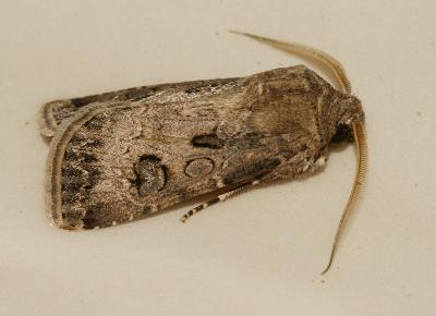 Noctuelle trapue (La) Agrotis bigramma (Esper, 1790)