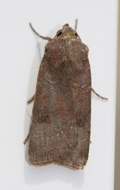 Noctuelle farouche Agrotis trux (Hübner, 1824)