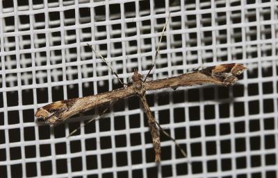 Amblyptilia acanthadactyla (Hübner, [1813])