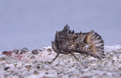 Cléophane radiée (La) Amephana aurita (Fabricius, 1787)