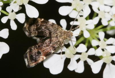 Anthophila fabriciana (Linnaeus, 1767)