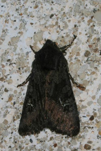 Noctuelle anthracite (La) Aporophyla nigra (Haworth, 1809)