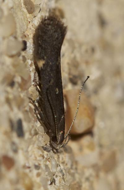 Aproaerema anthyllidella (Hübner, 1813)