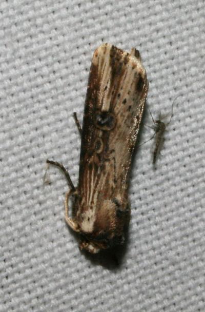 Noctuelle putride (La) Axylia putris (Linnaeus, 1760)