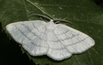 Cabère virginale (La), Délicate (La) Cabera pusaria (Linnaeus, 1758)