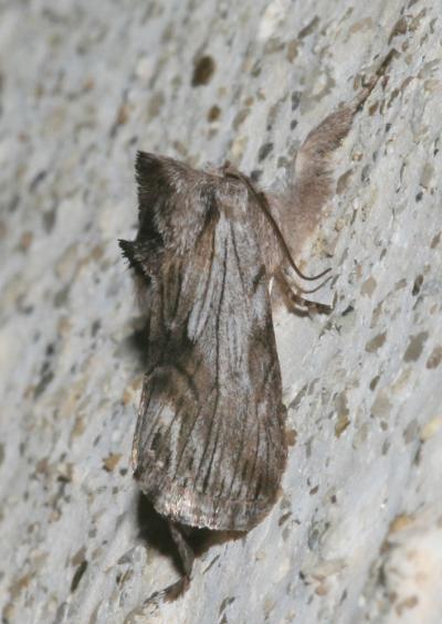 Noctuelle Calophasia platyptera (Esper, 1788)