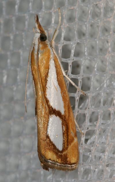 Catoptria pinella (Linnaeus, 1758)