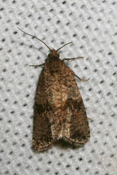 Celypha striana (Denis & Schiffermüller, 1775)