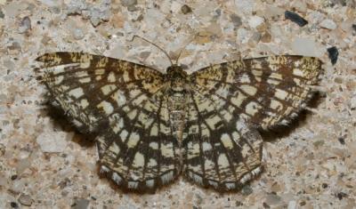 Réseau (Le), Géomètre à barreaux (La) Chiasmia clathrata (Linnaeus, 1758)