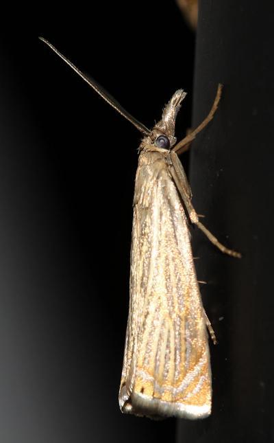 Crambe Chrysoteuchia culmella (Linnaeus, 1758)