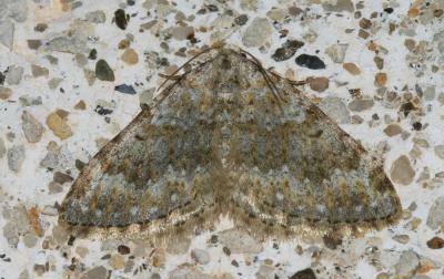 Géomètre Coenotephria ablutaria (Boisduval, 1840)
