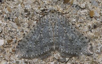 Cidarie pointillée (La) Colostygia multistrigaria (Haworth, 1809)
