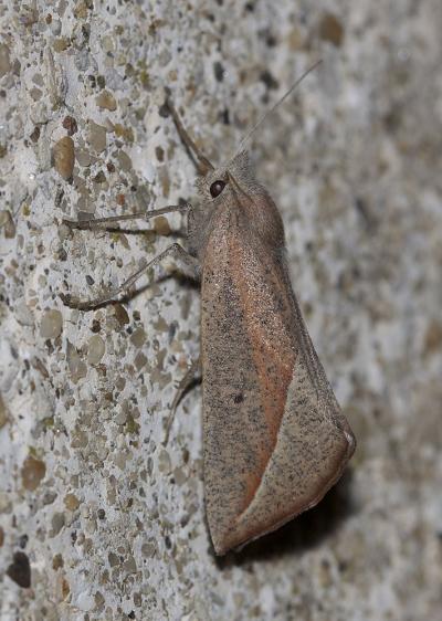 Fidonie pointue (La) Compsoptera opacaria (Hübner, 1819)