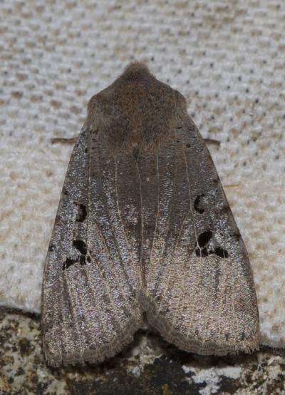 Orrhodie grise (L') Conistra rubiginosa (Scopoli, 1763)