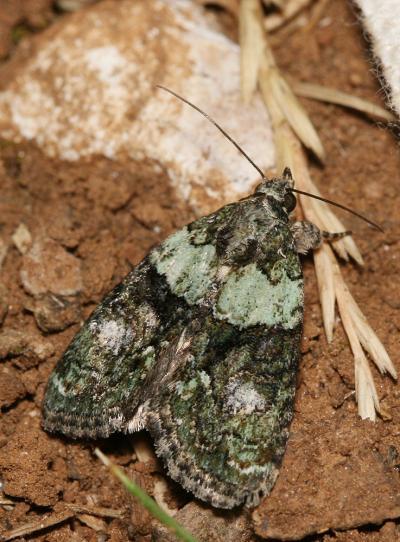 Bryophile vert-mousse (La) Cryphia algae (Fabricius, 1775)