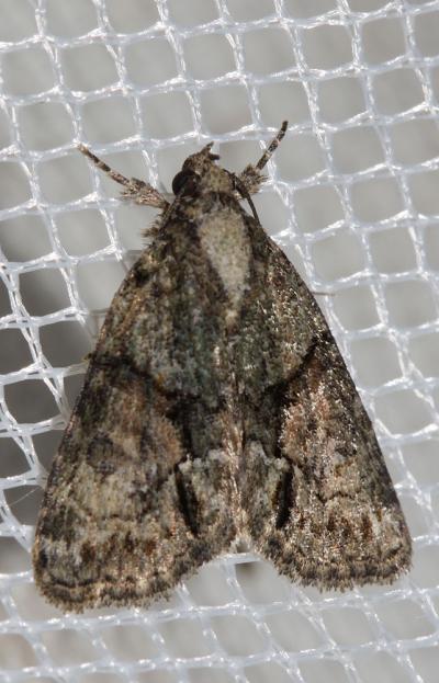 Bryophile modeste Cryphia ochsi (Boursin, 1940)