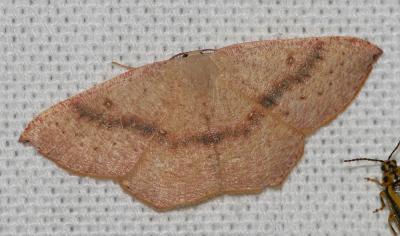 Ephyre pupillée (L') Cyclophora puppillaria (Hübner, 1799)