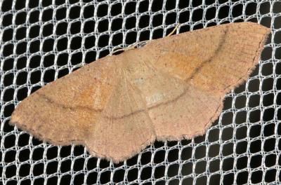 Phalène blond-roux Cyclophora suppunctaria (Zeller, 1847)