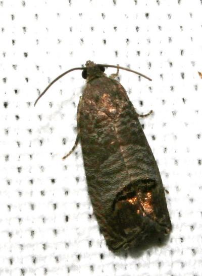 Cydia pomonella (Linnaeus, 1758)