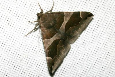 Passagère Dysgonia algira (Linnaeus, 1767)