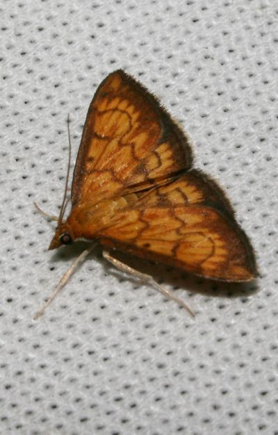 Crambe Ecpyrrhorrhoe rubiginalis (Hübner, 1796)