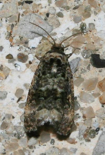 Endothenia oblongana (Haworth, 1811)