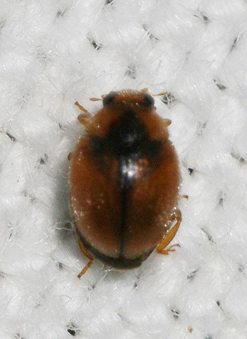 Scymnus sp petit col o rouge et noir le monde des insectes - Insecte rouge et noir ...