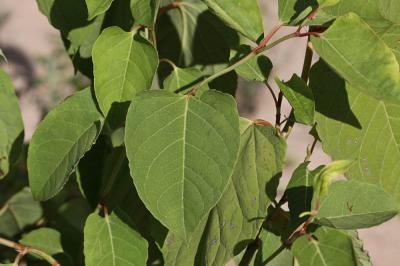 Renouée du Japon Reynoutria japonica Houtt., 1777