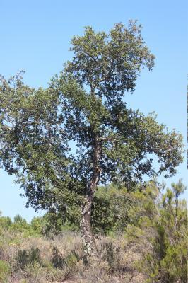 Chêne liège, Surier Quercus suber L., 1753