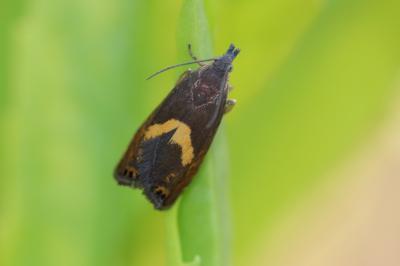 Dichrorampha petiverella (Linnaeus, 1758)