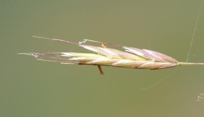 Brome des champs Bromus arvensis L., 1753