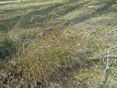 Piptathère faux Millet Oloptum miliaceum (L.) Röser & Hamasha, 2012