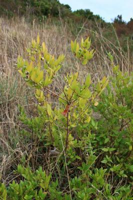 Myrte commun Myrtus communis L., 1753