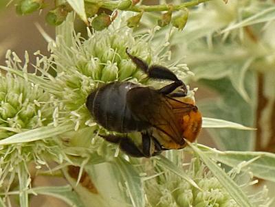 Apidae Latreille, 1802