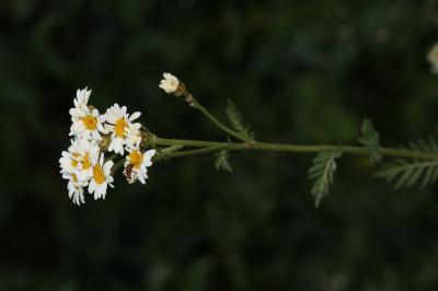Tanaisie en corymbe, Marguerite en corymbes, Chrys Tanacetum corymbosum (L.) Sch.Bip., 1844