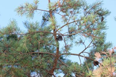 Pin sylvestre Pinus sylvestris L., 1753