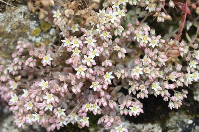 Orpin à feuilles épaisses Sedum dasyphyllum L., 1753