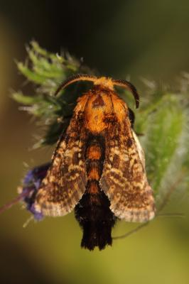 Stygie australe (La) Stygia australis Latreille, 1803