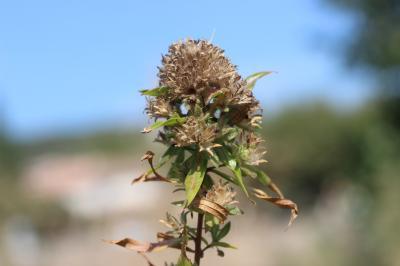 Collomia à grandes fleurs Collomia grandiflora Douglas ex Lindl., 1828