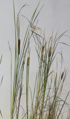 Massette à feuilles étroites Typha angustifolia L., 1753