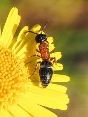 Krombeinella thoracica (Fabricius, 1793)