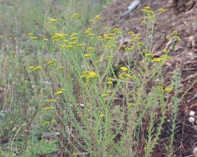Tanaisie annuelle Vogtia annua (L.) Oberpr. & Sonboli, 2012