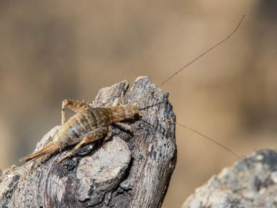 Grillon des Cistes Arachnocephalus vestitus Costa, 1855
