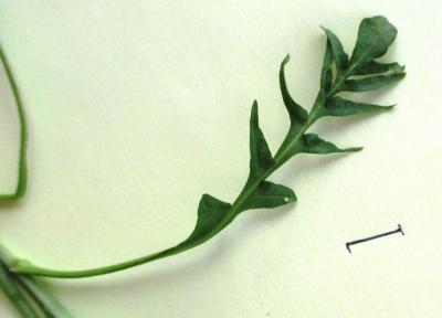 Bourse-à-pasteur rougeâtre Capsella bursa-pastoris subsp. rubella (Reut.) Hobk., 1869