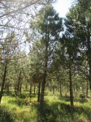 Pin de Salzmann Pinus nigra subsp. salzmannii (Dunal) Franco, 1943
