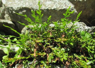 Doradille de Breyne, Doradille à feuilles alternes Asplenium x alternifolium Wulfen, 1781