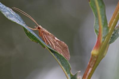 Ceraclea albimacula (Rambur, 1842)