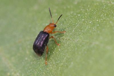 Zeugophora subspinosa (Fabricius, 1781)