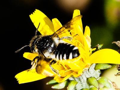 Megachile octosignata Nylander, 1852